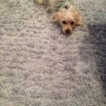 Plainfield-Dog-carpet-clean